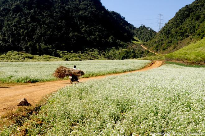 Hoa cải nở ở bản Pa Phách