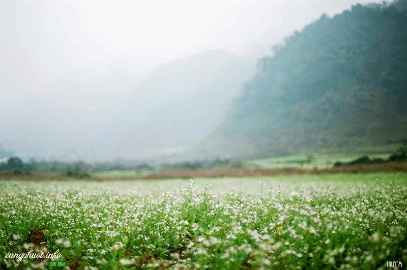 Mùa hoa cải đẹp mơ màng trong sương ở bản Pa Phách