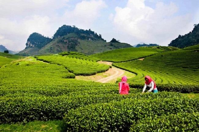 Du lịch Mộc Châu vào tháng 4, du khách sẽ được ngắm đồi chè xanh bạt ngàn